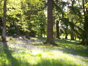 Bluebells, beeches and Spanish chestnut