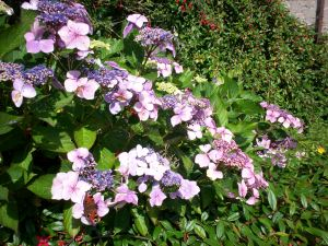 hydrangea with peacock butterfly