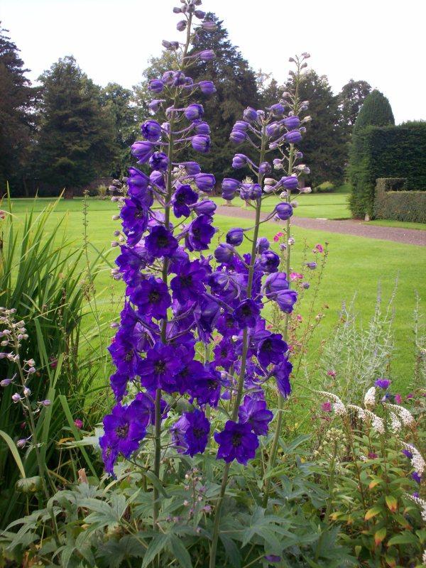 Delphiniums blue