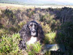 Our cocker spaniel in the heather, high on the hill