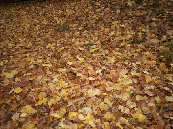 lime & beech leaves, 28 Oct 09