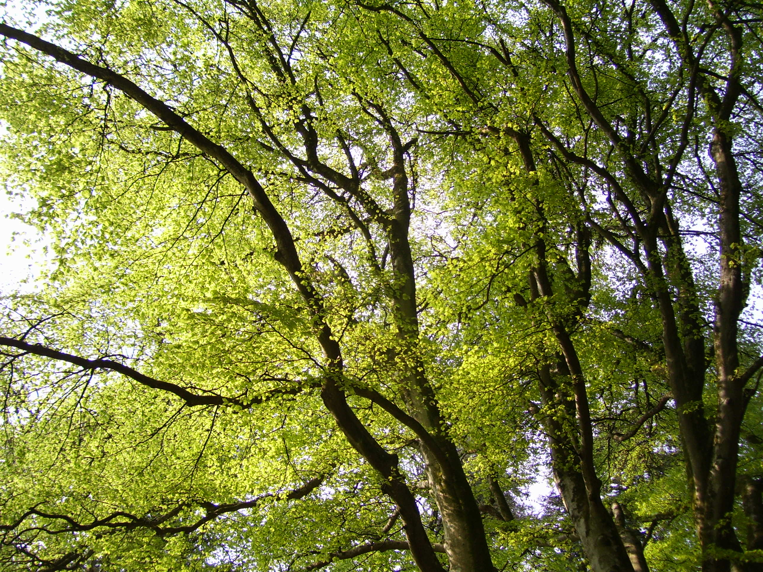 Uses For Beech Wood ~ The tuesday tree beech woods in springtime dancing beastie