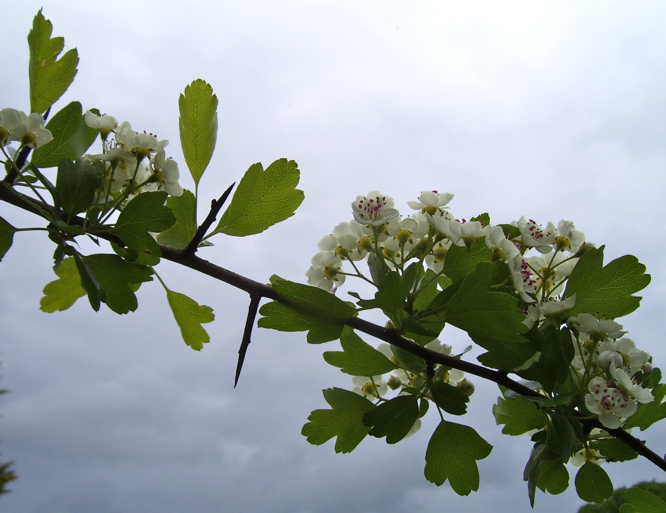 The Tuesday Tree Hawthorn Blossom Dancing Beastie