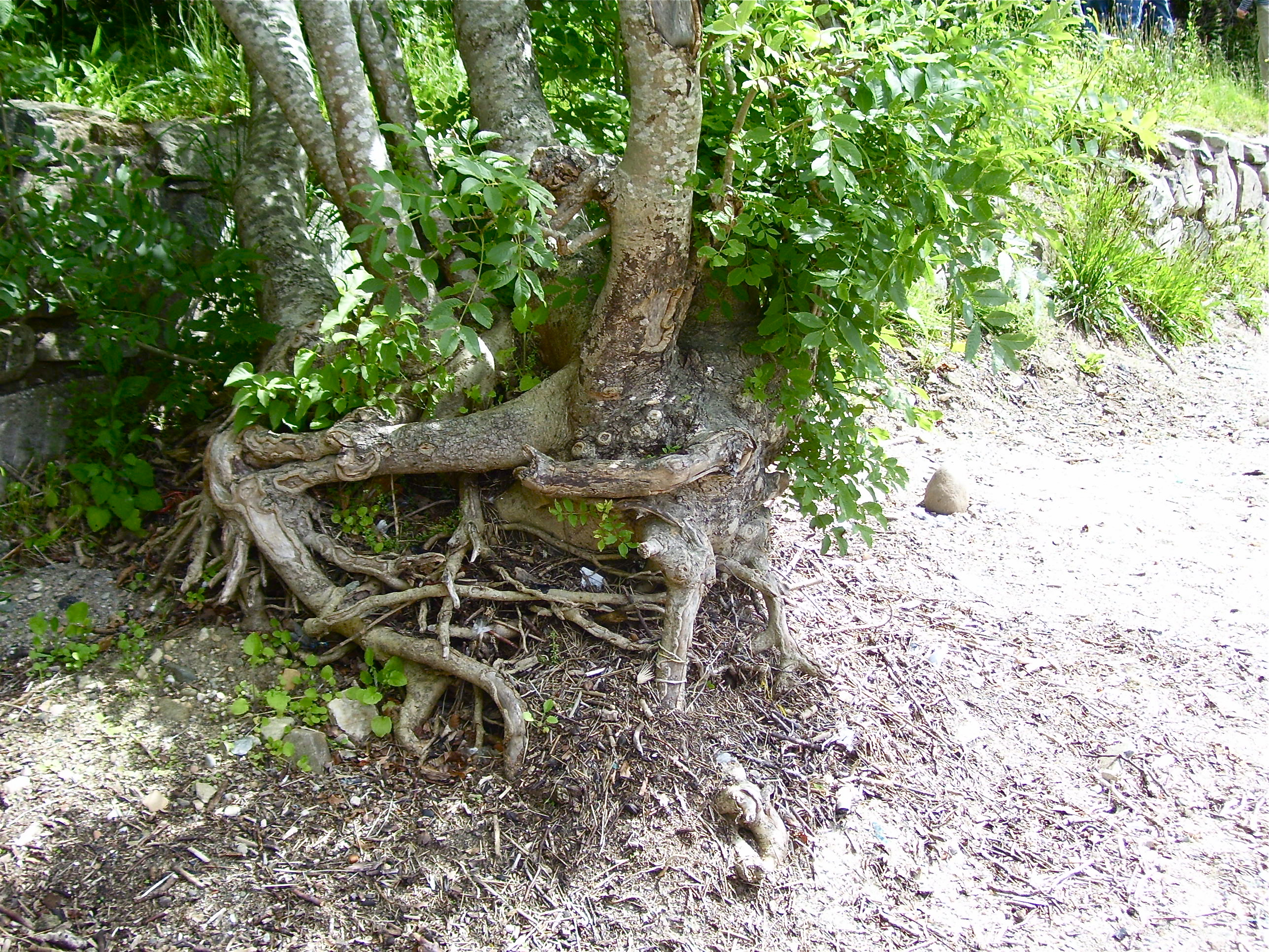 The Tuesday tree: ash trees between two worlds | Dancing Beastie