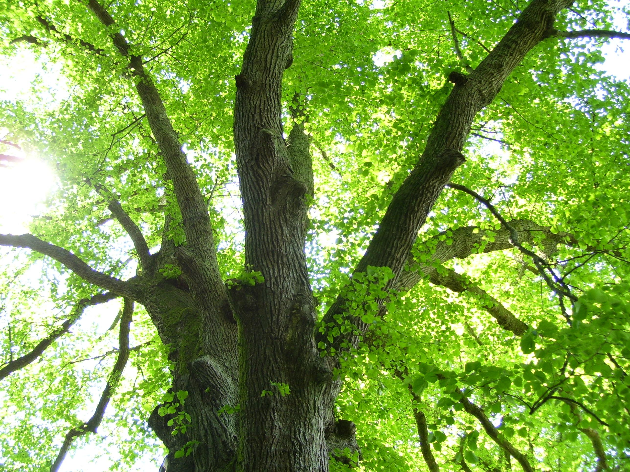 Under the linden trees but not in berlin dancing beastie for Tiglio albero