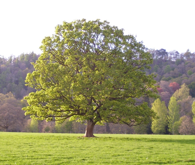 Within The Month The Sycamores Leaves Mature And Darken By The End Of May They Already Provide The Thick Shade Of Summer For The Rest Of The Summer The