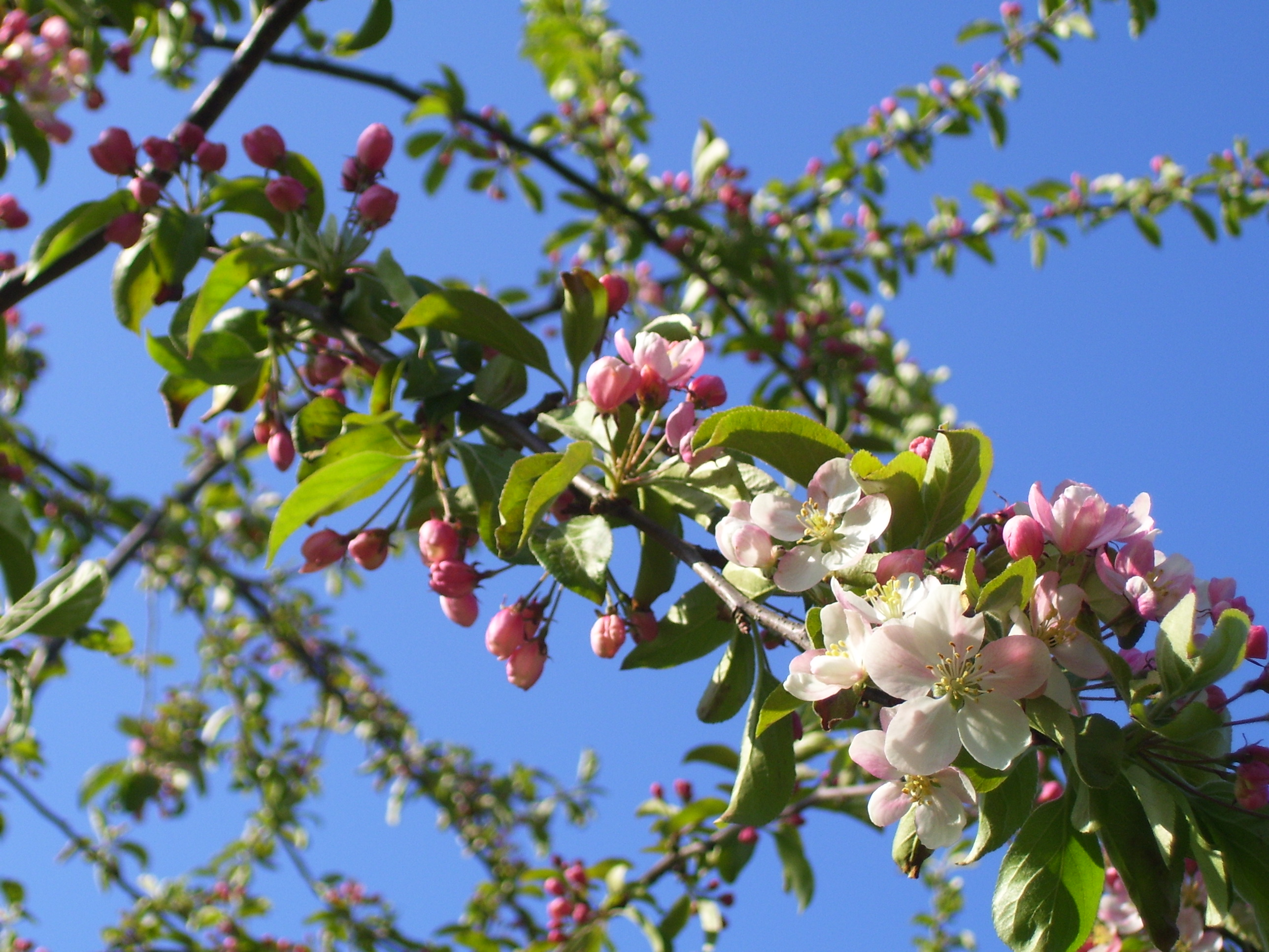 The Tuesday Tree Ahh Crab Apple Blossom Time Dancing