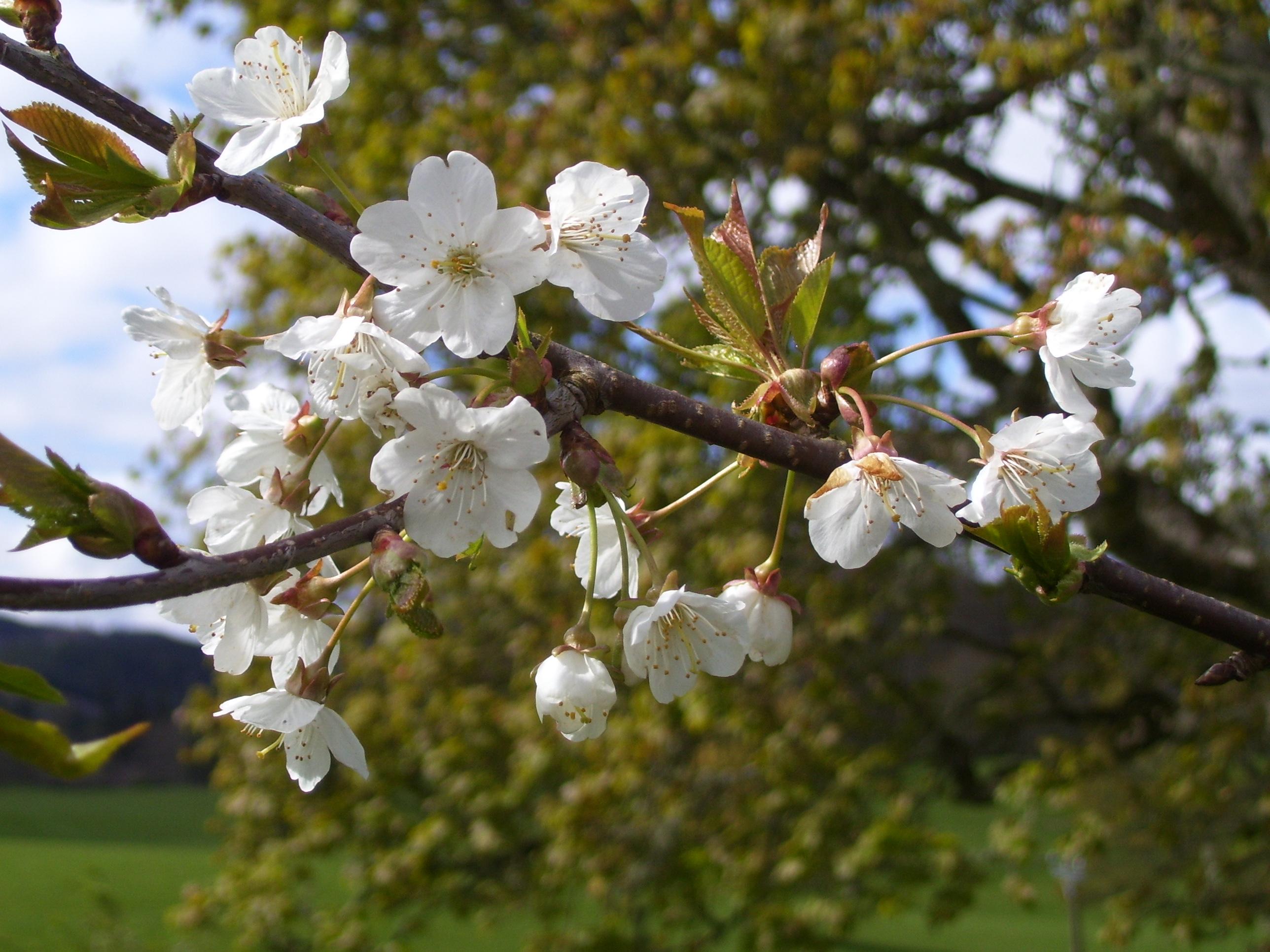 Spring Oak Haiku Dancing Beastie