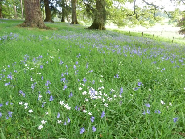 Near the edge of the wood, the bluebells are powdered with white stitchwort.