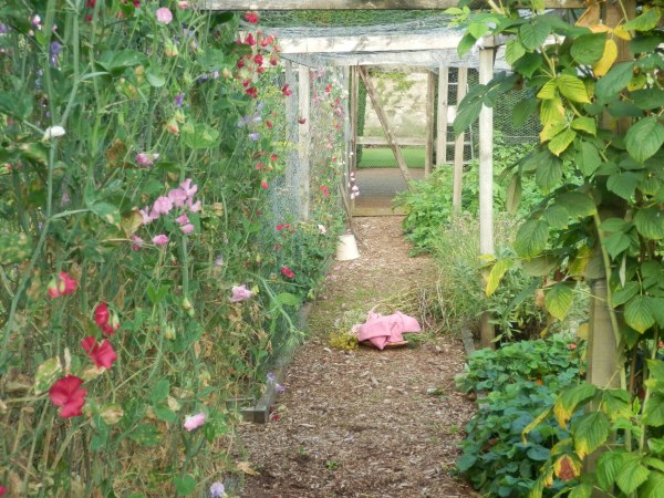 Sweet peas in the kitchen garden