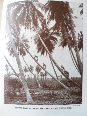 'Native boys climbing coco-nut palms, Porto Rico', from 'The Wonder Book of Nature'
