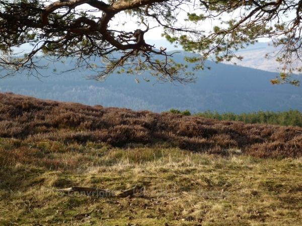 Scots Pine 77