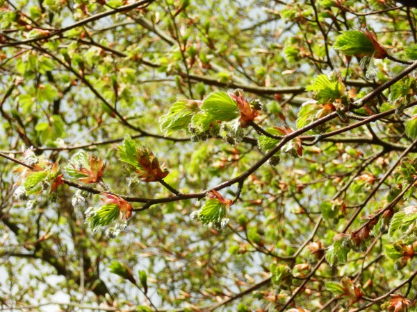 New beech leaves and blossom emerging from their brown husks