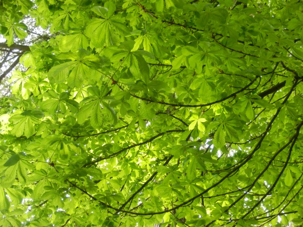 The horse chestnut in the beech woods is in full new leaf now.