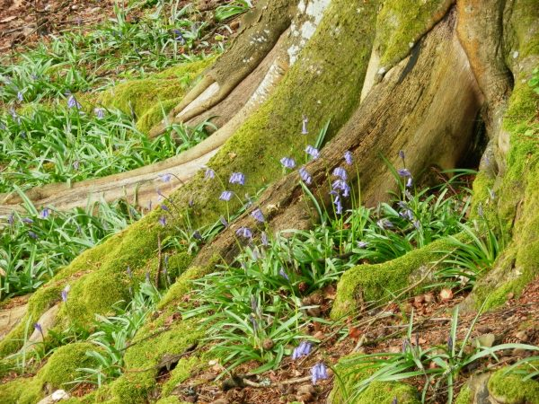 Bluebells in the roots of an elderly beech.