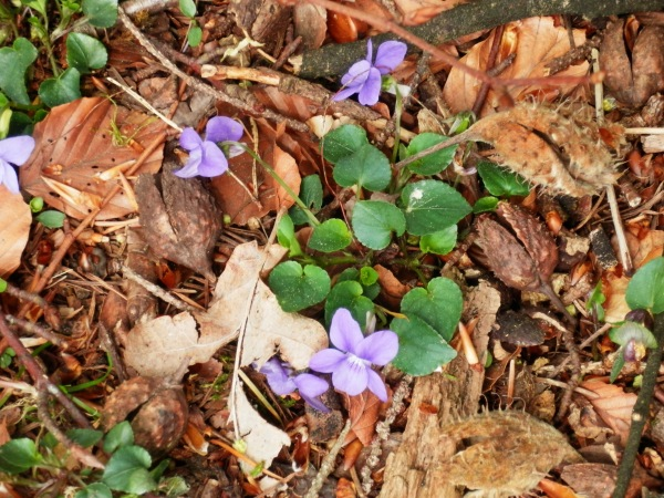 Wild violets in the beech litter