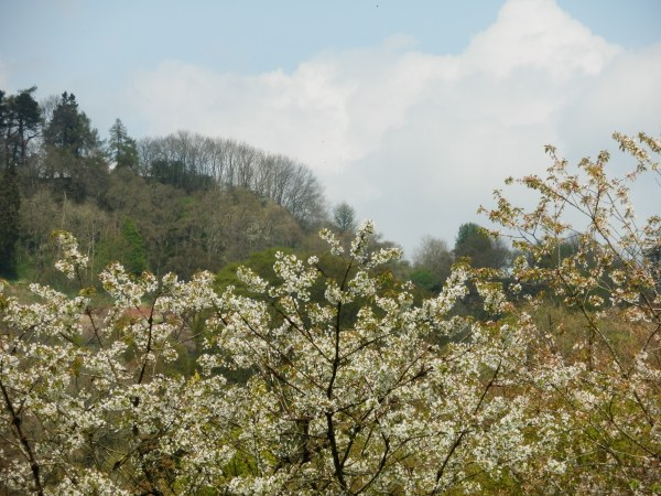 Geans (wild cherry) in blossom