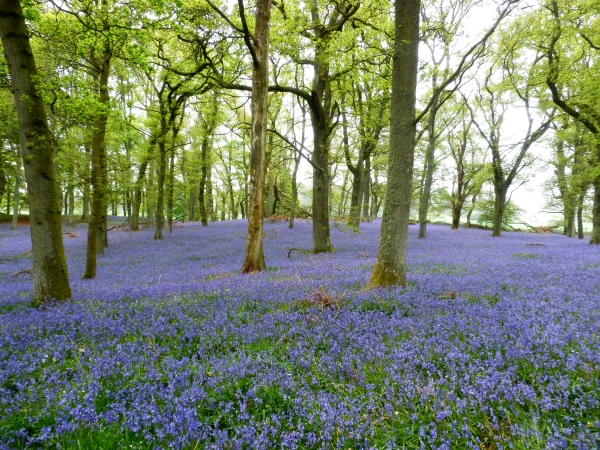 the extraordinary bluebell wood