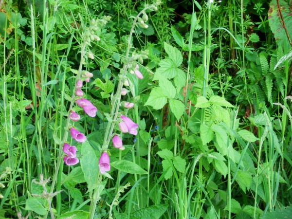 foxgloves in flower against a backdrop of brambles, dock leaves and goose grass.