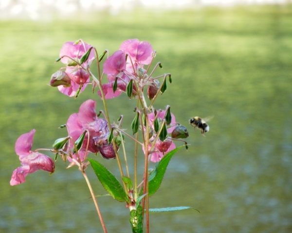 Bee alighting on a wildflower on the riverbank, July 2014