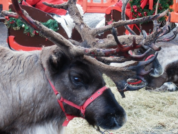 Reindeer from the Cairngorm herd helping  Father Christmas in Dunkeld.