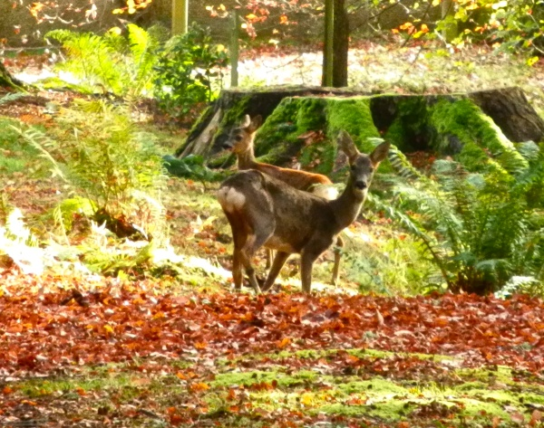 The same doe (I think) and one of her young in October 2014.