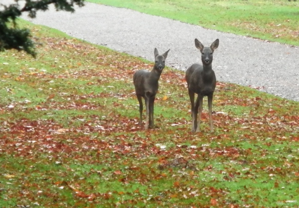 Mother and young roe deer