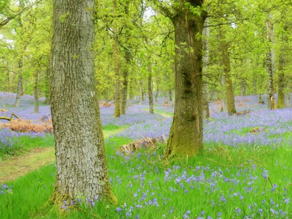 Our favourite bluebell wood in full bloom, exactly a year ago.