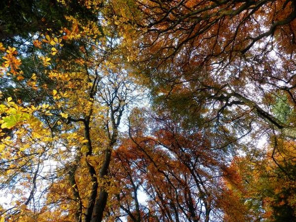 Perthshire amber: looking up at October beeches
