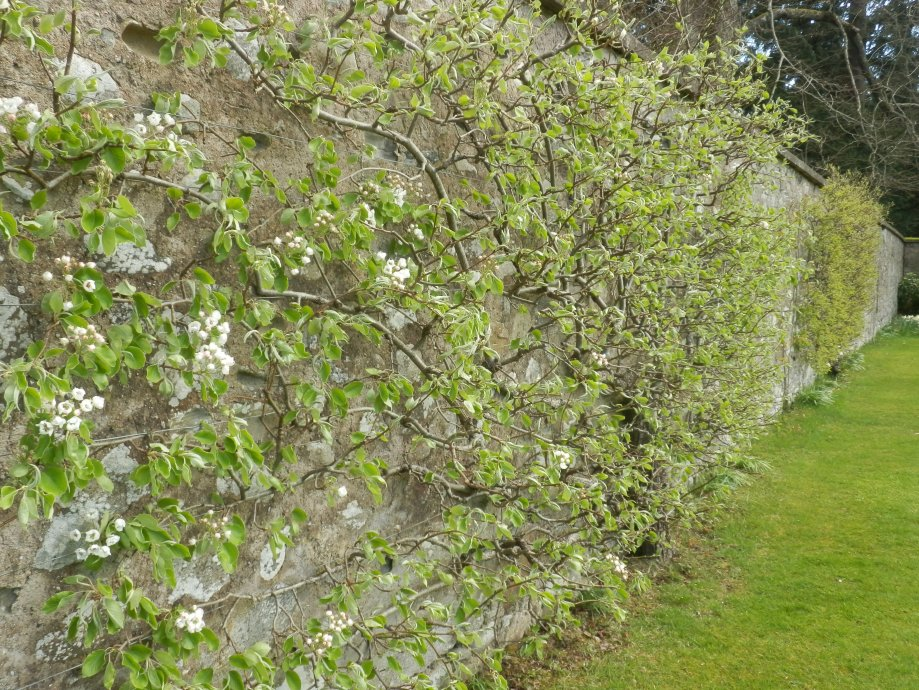 Espaliered apple trees against the garden wall.